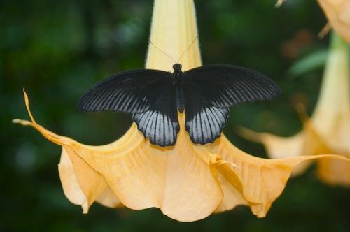 Great Mormon (Papilio  memnon) Male