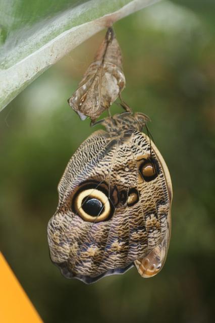 Giant Owl Butterfly (Caligo eurilochus)