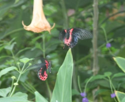 Crimson Mormon (Papilio rumanzovia)